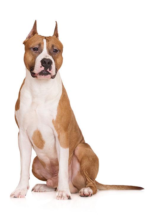Cuidados del American Staffordshire Terrier