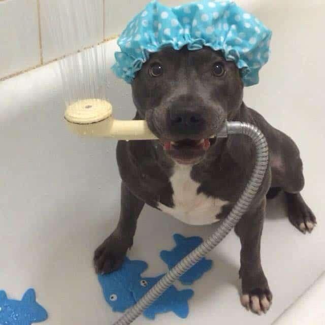 pitbull terrier americano en el baño