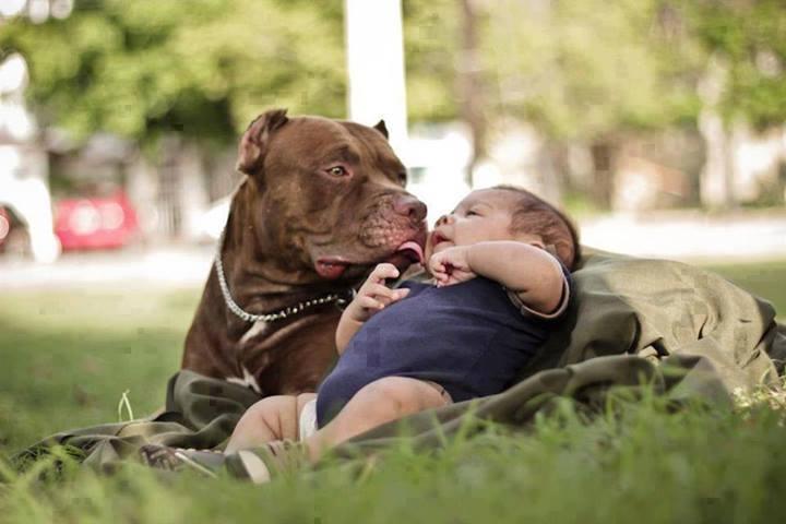 American Pitbull Terrier Niñera